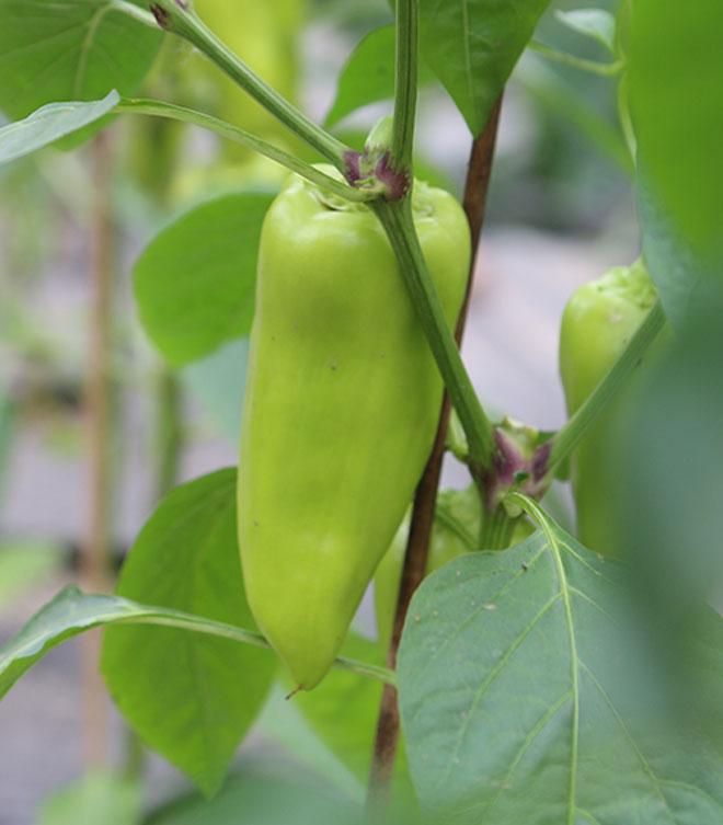 Paprika Anzucht